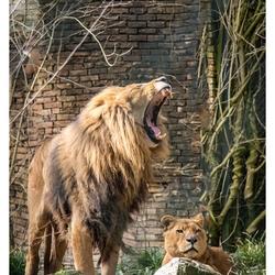 4384 leeuw