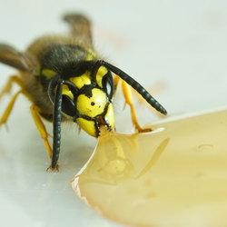 Snoepen van de honing