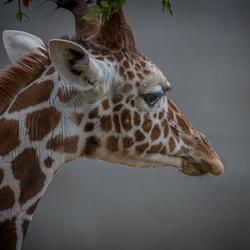 De Giraf ...