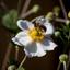 Blije Bij in een witte bloem