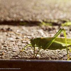 Lonely Grashopper