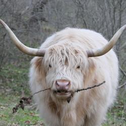 Blonde/witte Schotse Hooglander