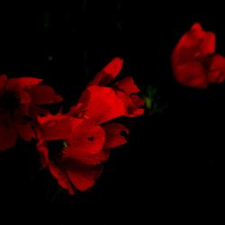 wilde anemonen