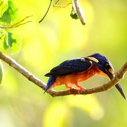 Ijsvogel in Maleisie