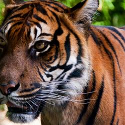 Sumatraanse Tijger 4236