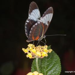 Vlinder (snoepie)