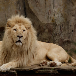 Witte Afrikaanse leeuw