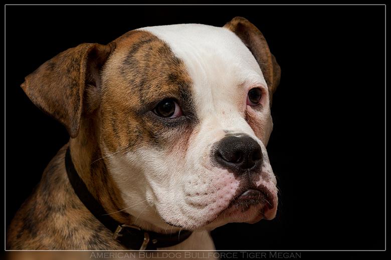 Megan - Amerikaanse Bulldog megan