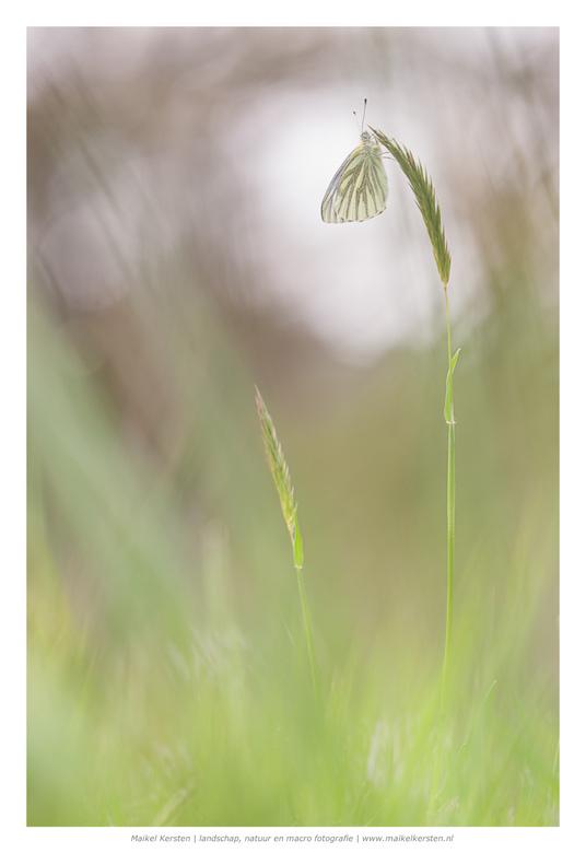 Koolwitje | natuurgebied | Groesbeek