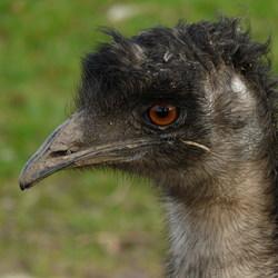 Vogel serie 103. Loopvogel Emoe