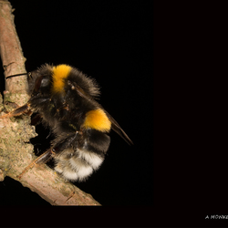 A monkey bee