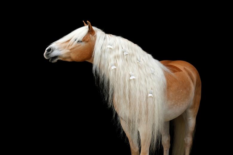Golden Horse - De knappe haflinger ruin Wirbelstar
