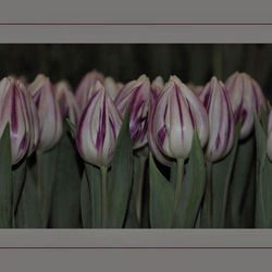 rijtje tulpen 2e versie