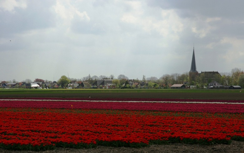 Tulpen - Tulpenvelden aan de zeedijk bij Holwerd