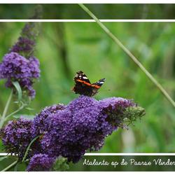 Atalanta op Paarse Vlinderstruik
