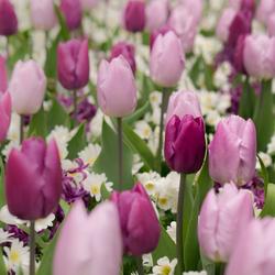 Tulipgarden