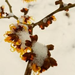 Besneeuwde bloeiende hazelaar