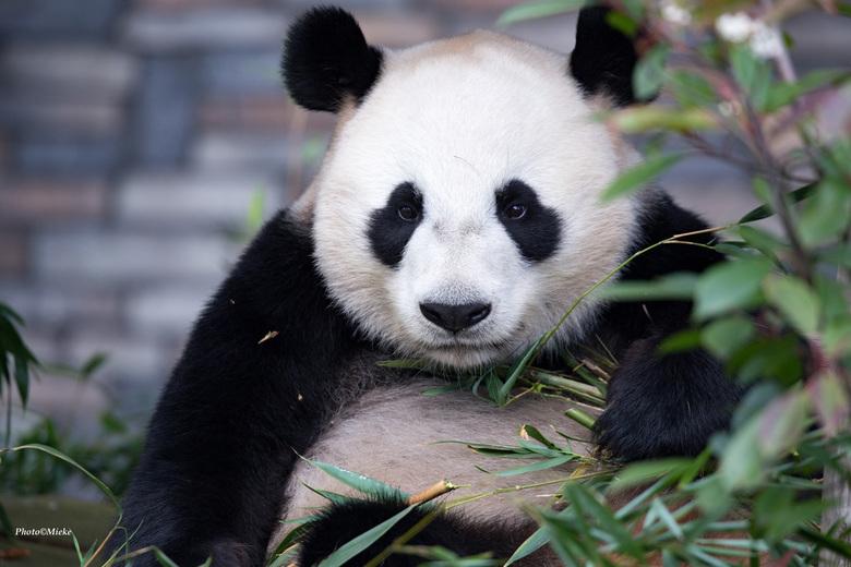 Spannend - Zaterdag 18 januari heeft de eerste paring tussen reuzenpanda's Wu Wen en Xing Ya plaatsgevonden. Nu afwachten of het een succesvolle parin