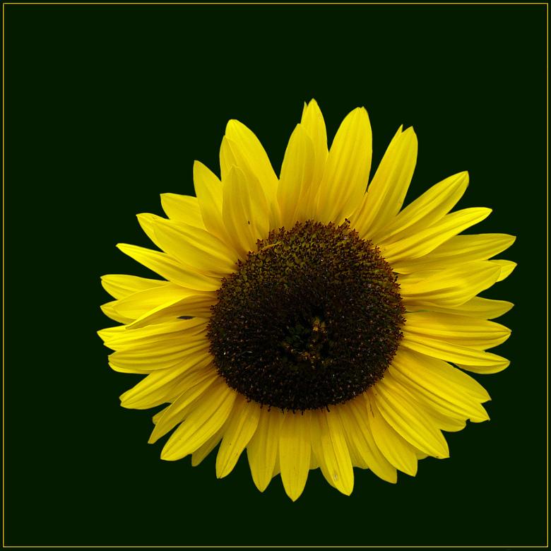 Zonnebloem - Ik heb deze zonnebloem al eens eerder geplaatat, maar nu met een donkere achtergrond.<br /> Ben benieuwd wat jullie er van vinden.<br />