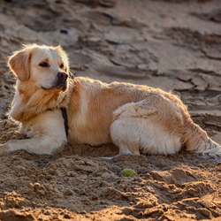 Golden Retriever rust uit op strand