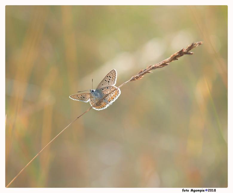 Icarus - Macro van misschien wel het mooiste vlindertje in Nederland.....maar dat is persoonlijk uiteraard.<br /> <br /> Bedankt voor de reacties op