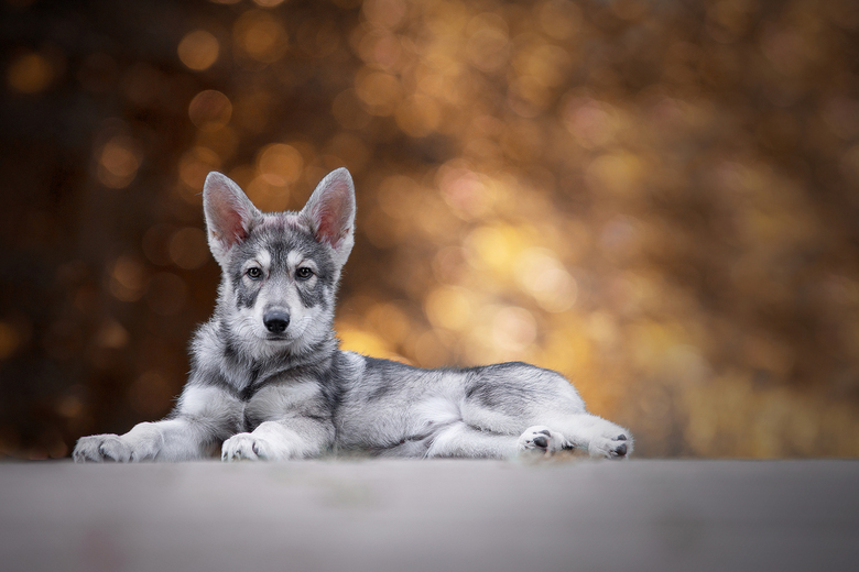 Wolfhond -