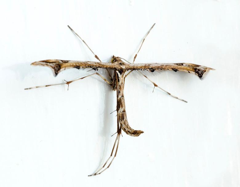 Vedermot (FV) - De scherphoekvedermot (Amblyptilia acanthadactyla) is een nachtvlinder uit de familie vedermotten (Pterophoridae). De spanwijdte van d