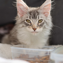 Maine coon kitten Luna