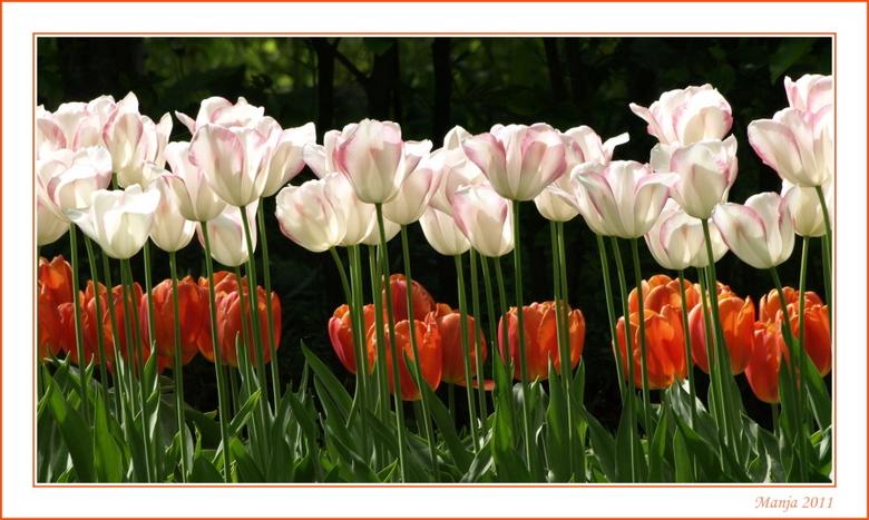 één streepje voor... - In de Keukenhof liggen de tulpenveldjes tegen elkaar aan. Dit beeld vind ik zo leuk omdat de grootste tulpen vooraan staan. En