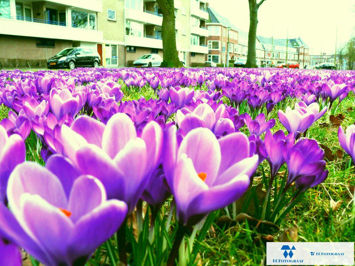 2015-april-lente-crocussenveld-paars