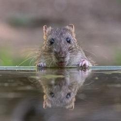 Bruine rat. Zo lief heb ik ze niet eerder gezien
