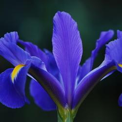 Iris in de blauwe variant