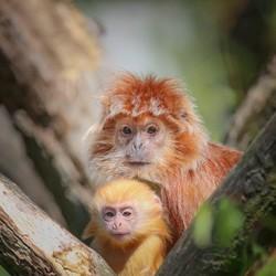 Langoer aapje met een jong