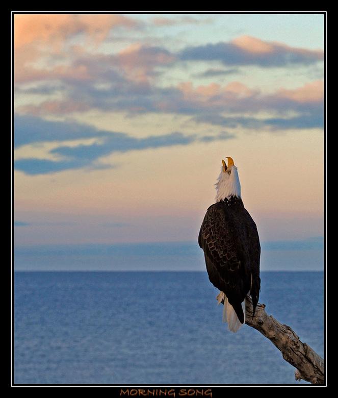 Morning Song - Deze adelaar zong gisterochtend rond 9 uur het hoogste lied, tenminste als je bij adelaars echt van een lied kunt spreken, het klinkt n