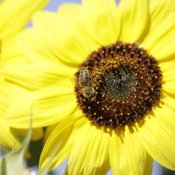 Laatste honing binnenhalen