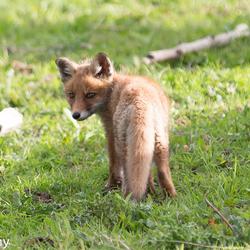 jong vosje Oostvaardersplassen