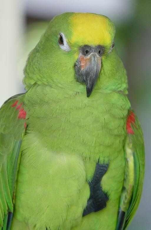 Papegaaienwandeling 25 mei 2017: Geelvoorhoofd Amazonepapegaai Lex.