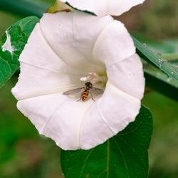 Namaakwesp in bloem