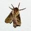 Motvlinder