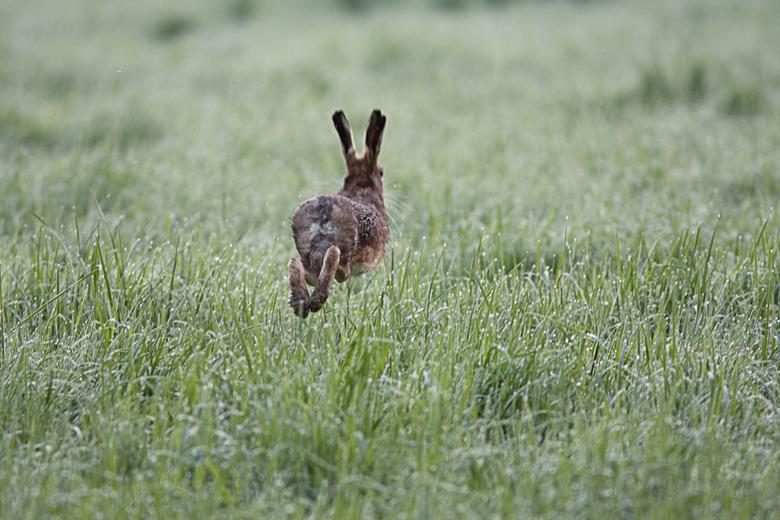 Speed - Een haas op de vlucht in de vroege ochtend, &#039;zweeft&#039; als het ware boven het natte gras.<br /> <br /> Vervolg op de serie speed