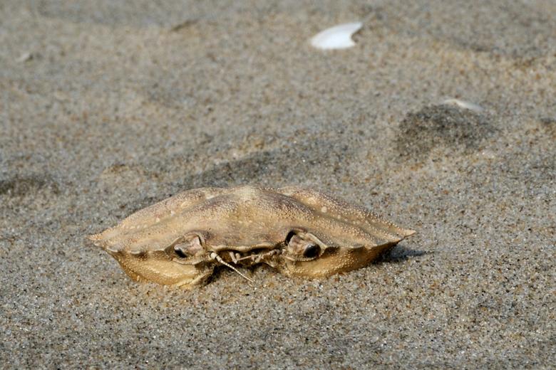 Krab - Verlaten schaal van een krab