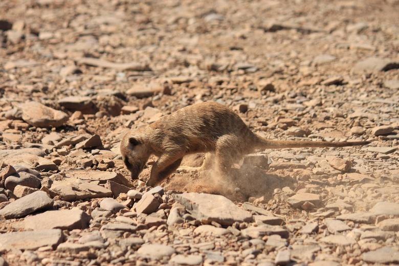 Stokstaart - Een stokstaartje in Etosha National Park