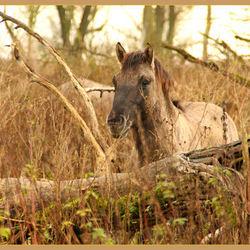 Paard in de Oostvaardersplassen