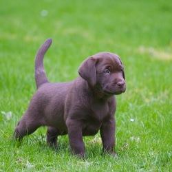 Mijn Labrador 2