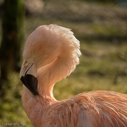 Flamingo....