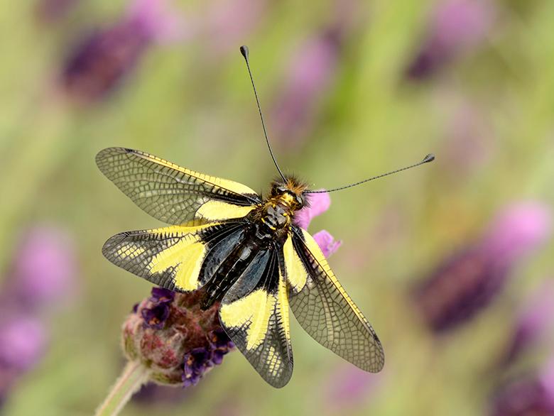 Gewone Vlinderhaft - Geen vlinder, geen libel of kruising, maar een Vlinderhaft.<br /> Mooi vraatzuchtig insect, die vaak in groepen jaag over de vel