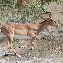 Vluchtende Impala