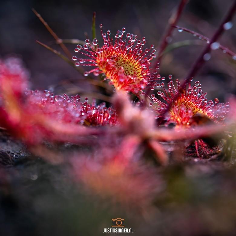 Zonnedauw op Texel. - Zonnedauw op Texel, zeldzaam plantje maar oh zo mooi! Ik had het nog nooit gezien wel veel naar gezocht, jaren zelfs.<br /> Bek