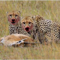 Twee luipaarden
