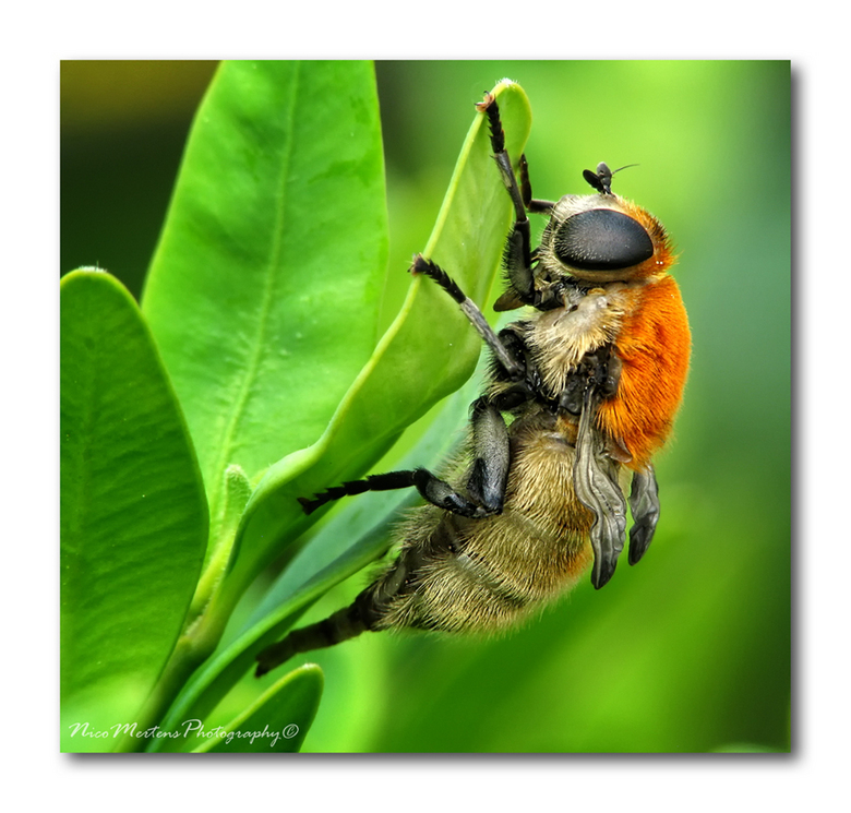 Narcissenvlieg!! - Hallo...<br /> <br /> ik denk dat dit gewoon een soort zweefvlieg is?? hij bleef mooi zitten, maar het was al snel duidelijk waar